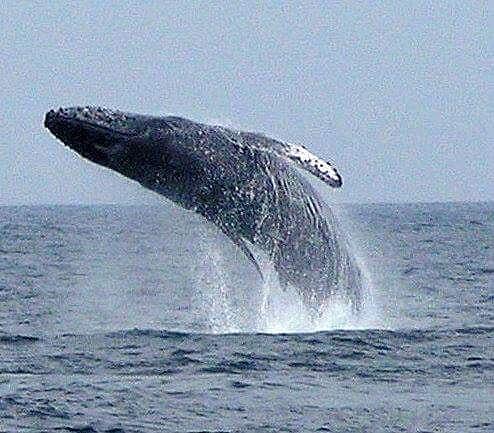 spring break whale watching in puerto vallarta