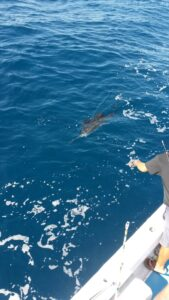 Sailfish about to get caught