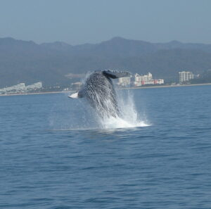 whales in puerto vallarta